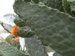 Opuntia sp. - Oponce - Cactus raquette