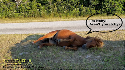 The Horses of Assateague Island, Maryland