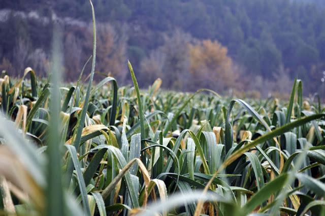 vista de proximidad del campo de puerros, un mar de hojas.