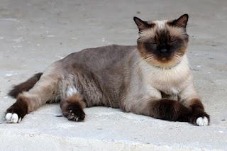 European Burmese Cats Colors Pattern