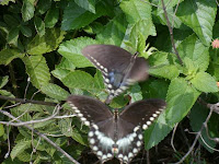 black swallowtail mating rituals