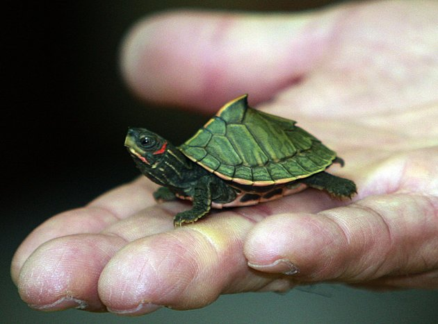 Care Of Pet Turtles And Tortoises Care Of Indian Tent