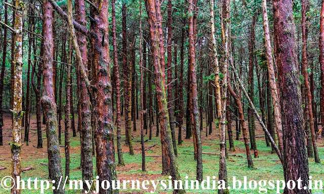 Pine Forest en route to Berijam Lake Kodaikanal