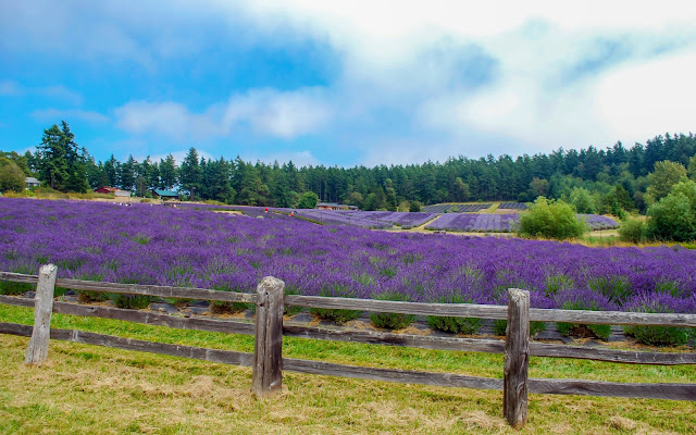 Lavender in Bloom at Pelindaba Lavender Farm San Juan Island