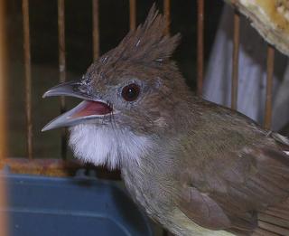 Burung Cucak Jenggot - Makanan atau Pakan Yang Sesuai Untuk Burung Cucak Jenggot - Penangkaran Burung Cucak Jenggot