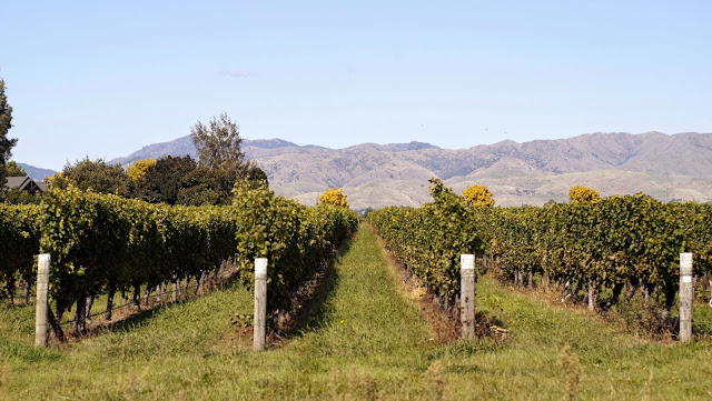 Blenheim wineries in Marlborough New Zealand - vines