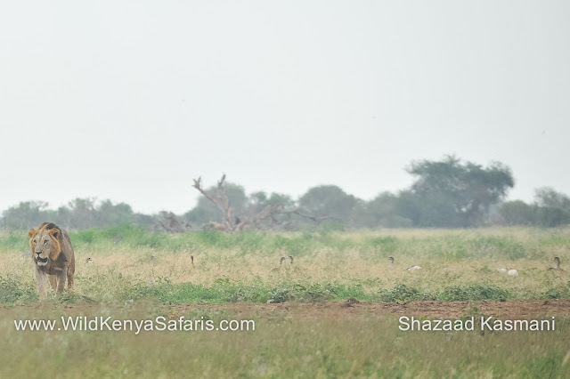 Tsavo East Safari, Lions Tsavo, Egyptian Geese Tsavo, Wild Kenya Safaris, Diani Safaris, Wildlife Diaries, Kenya Safari, Diani Beach Safari, www.wildkenyasafaris.com, Ashnil Aruba Lodge Tsavo