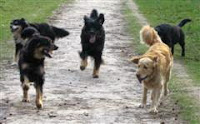 hovawarts and other dogs playing and socialising together