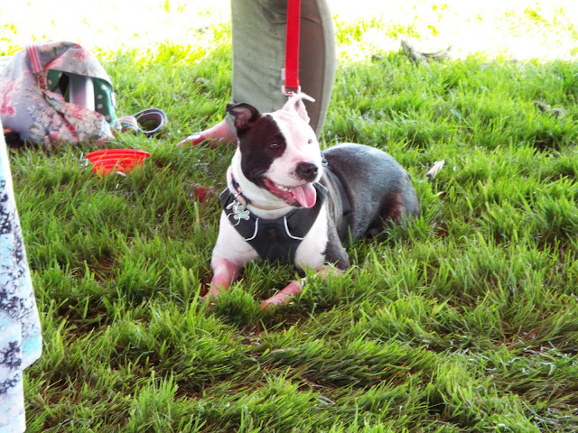 staffordshire bull terrier on grass