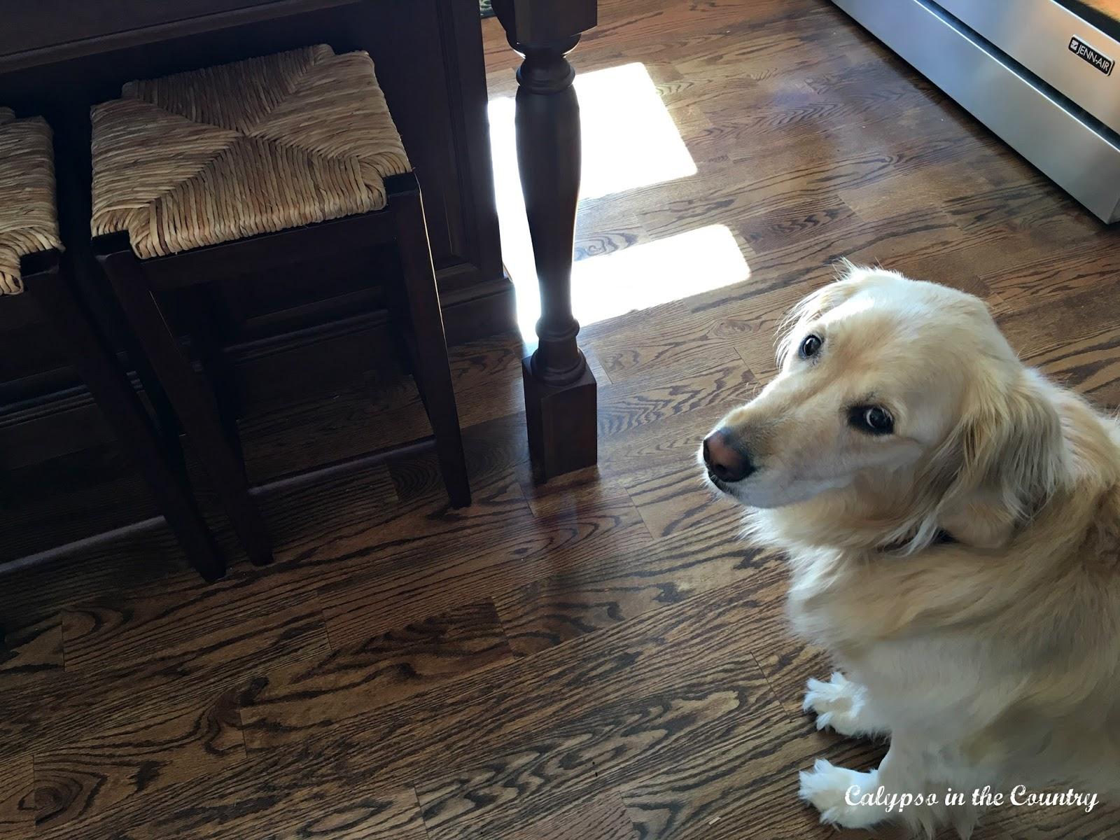 Golden retriever in the kitchen