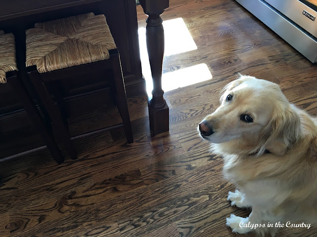 Counter Stool decision (and a cute golden!)