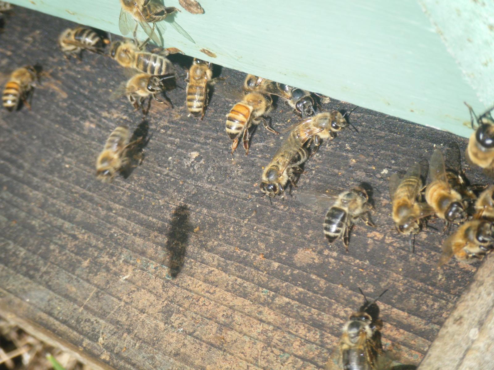 Dot Russian Bee Breeders 44