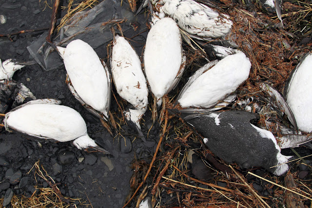 Warm Pacific water led to vast seabird die-off, experts say