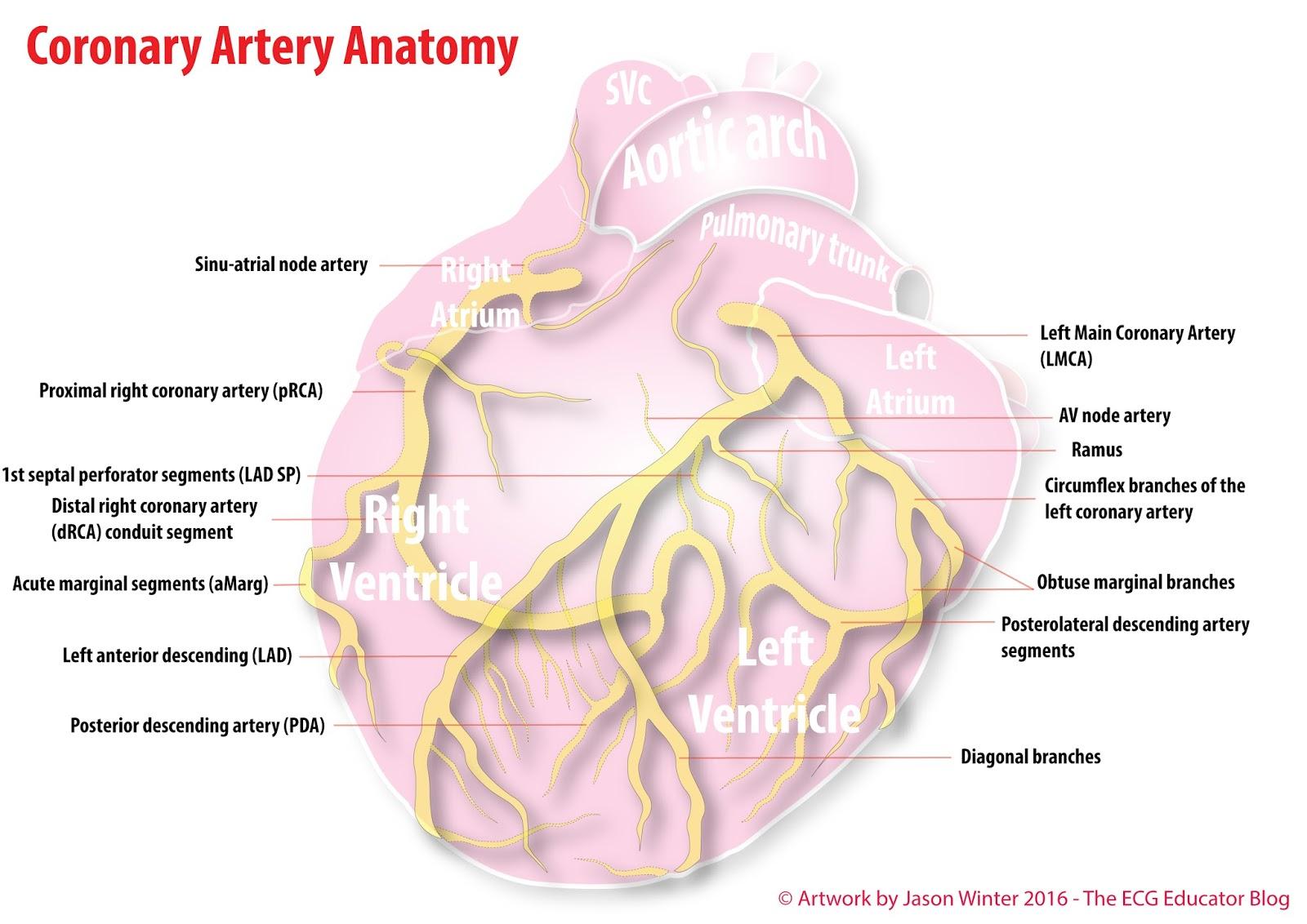 ECG Educator Blog : Coronary Artery Anatomy