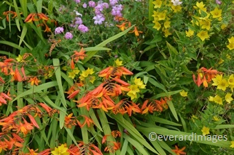 Crocosmia Masonorum Forms Dense Grassy Like Ground Cover With Exotic Orange Flowers Contrasting Well Other