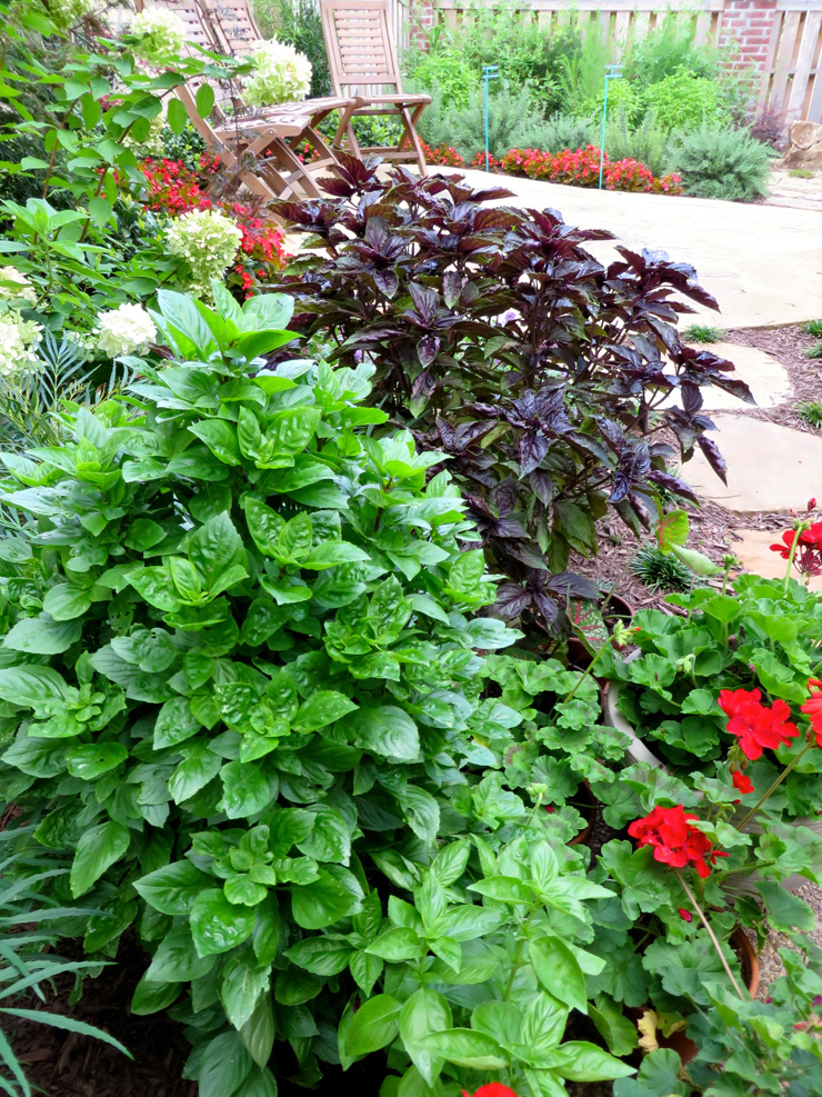 Basil plants in garden border