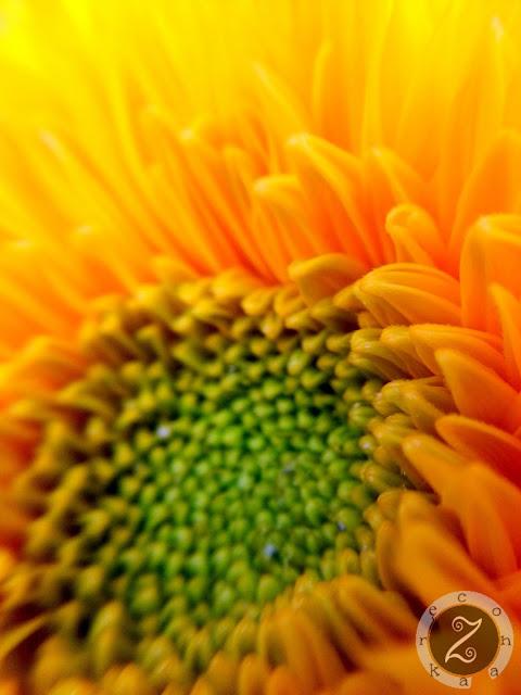 słoneczniki zdjęcia