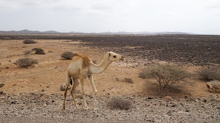 With starving camels along the way