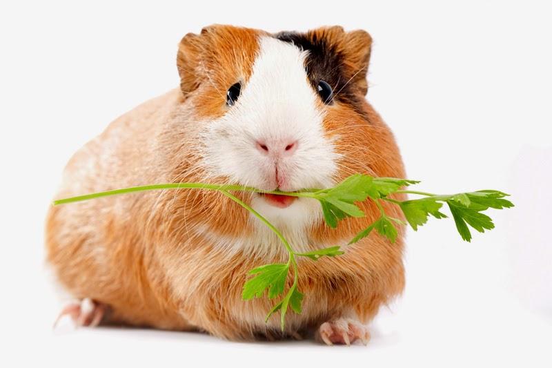companion animal psychology guinea pigs and domestication
