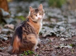 deskripsi kucing kurus bahasa Inggris