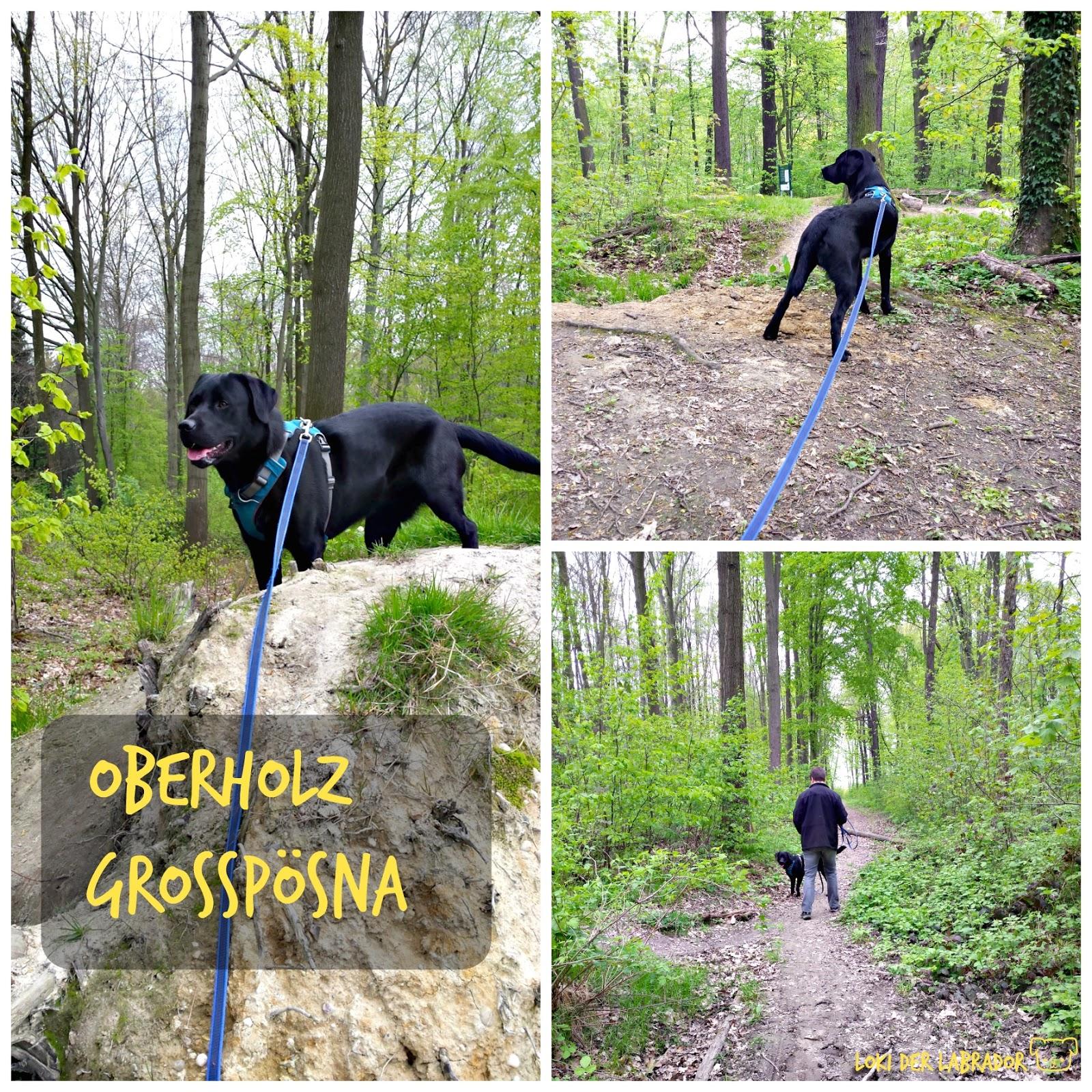 Oberholz Großpösna Labrador