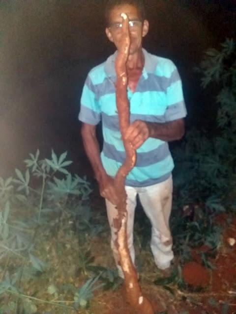 Mandioca gigante foi encontrada em Iretama
