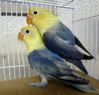 settingan lovebird koloni