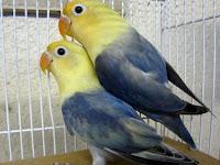 Settingan Perawatan Lovebird Koloni Dewasa Untuk Menstabilkan Birahi Lovebird