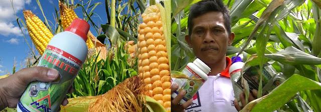 Pupuk Organik Cair Agritech Untuk Tanaman Jagung