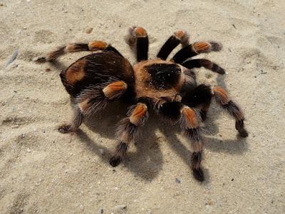 do tarantulas jump