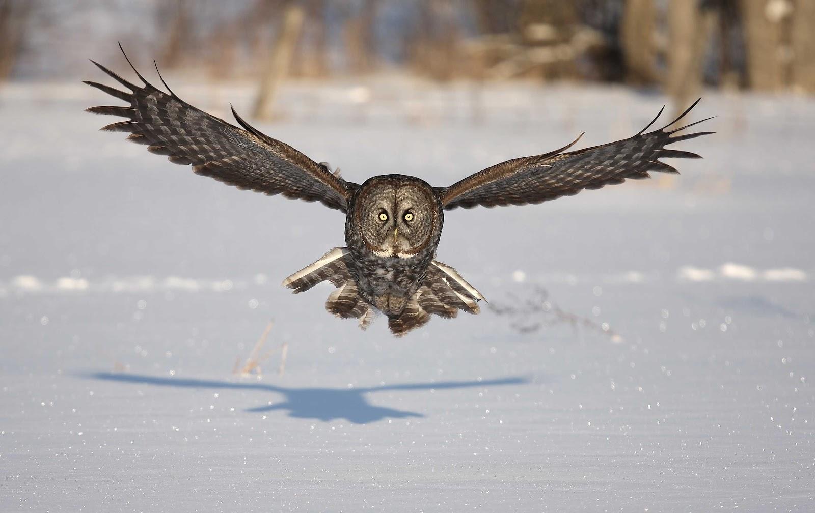 GREAT GRAY OWL | XAMOBOX.BLOGSPOT.COM, RELAX