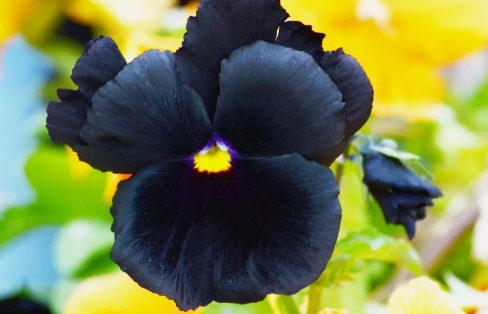 Gambar Bunga Pansi Hitam