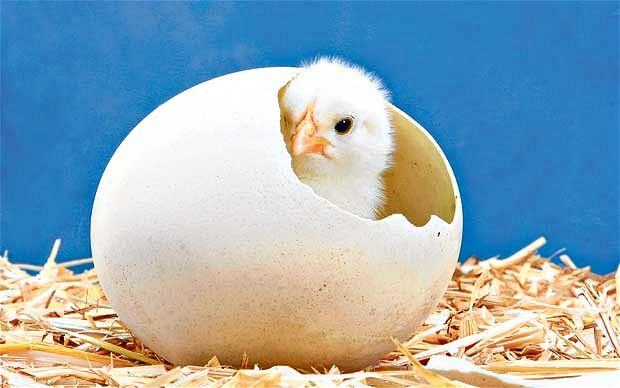 Mana Lebih Dulu, Telur atau Ayam?