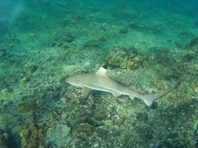 photo of a black tip reef shark scuba dive Phi Phi Le