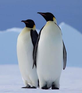 pinguin di antartika