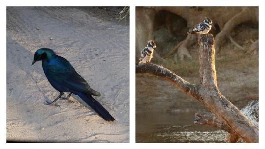 Starling Brillante Azul y Martín Pescador de Pied