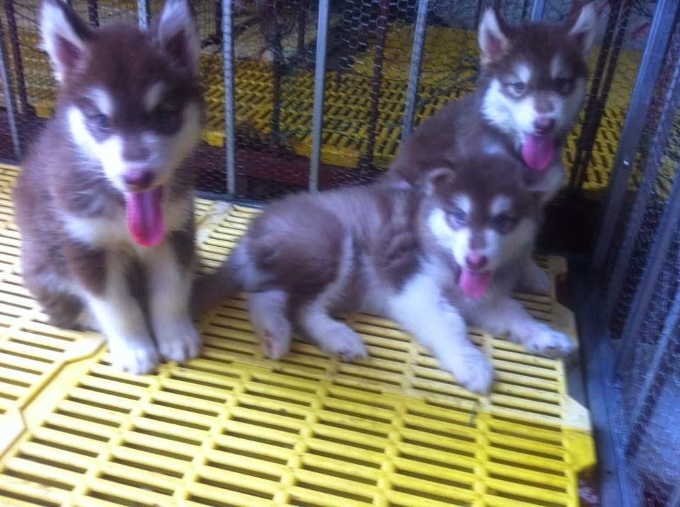 3 trong số 9 con hậu duệ của Alaska Phi Tặc