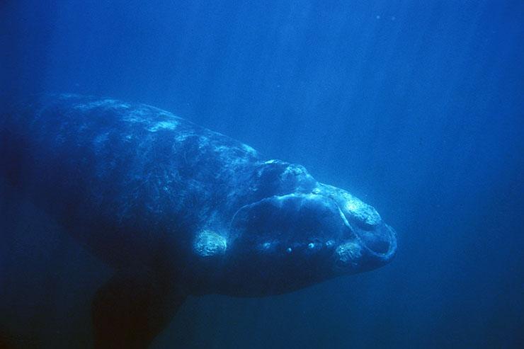 Avistaje de ballenas: Ballena Franca Austral Monumento Natural Nacional