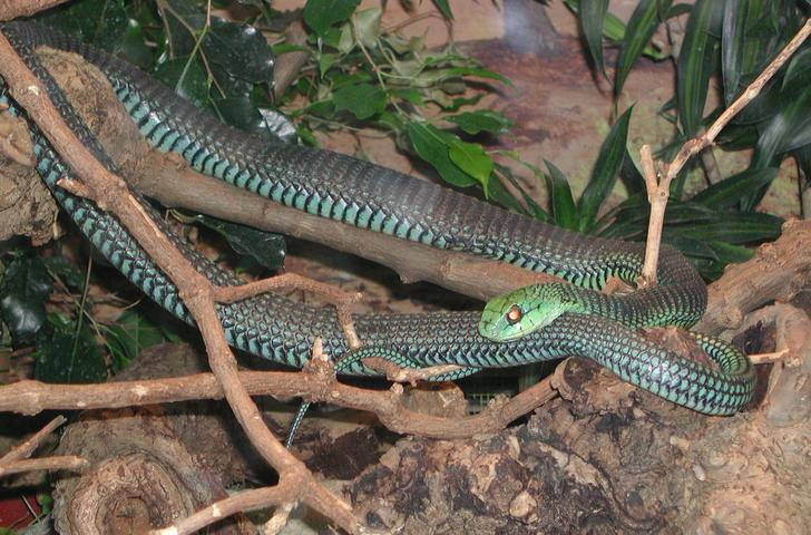 Snakes Eating Cows Snakes: Boomslang snak...
