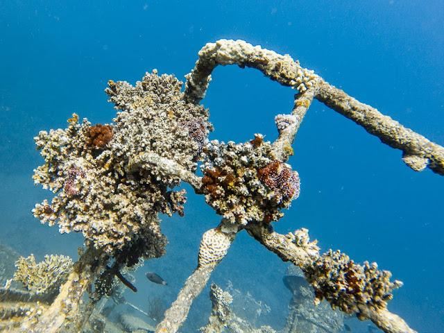 Detalle del coral del Cedar Pride, Aqaba, mar Rojo, Jordania