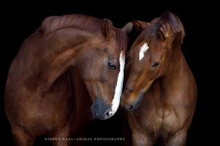 fotos-profesionales-de-caballos-pura-sangre