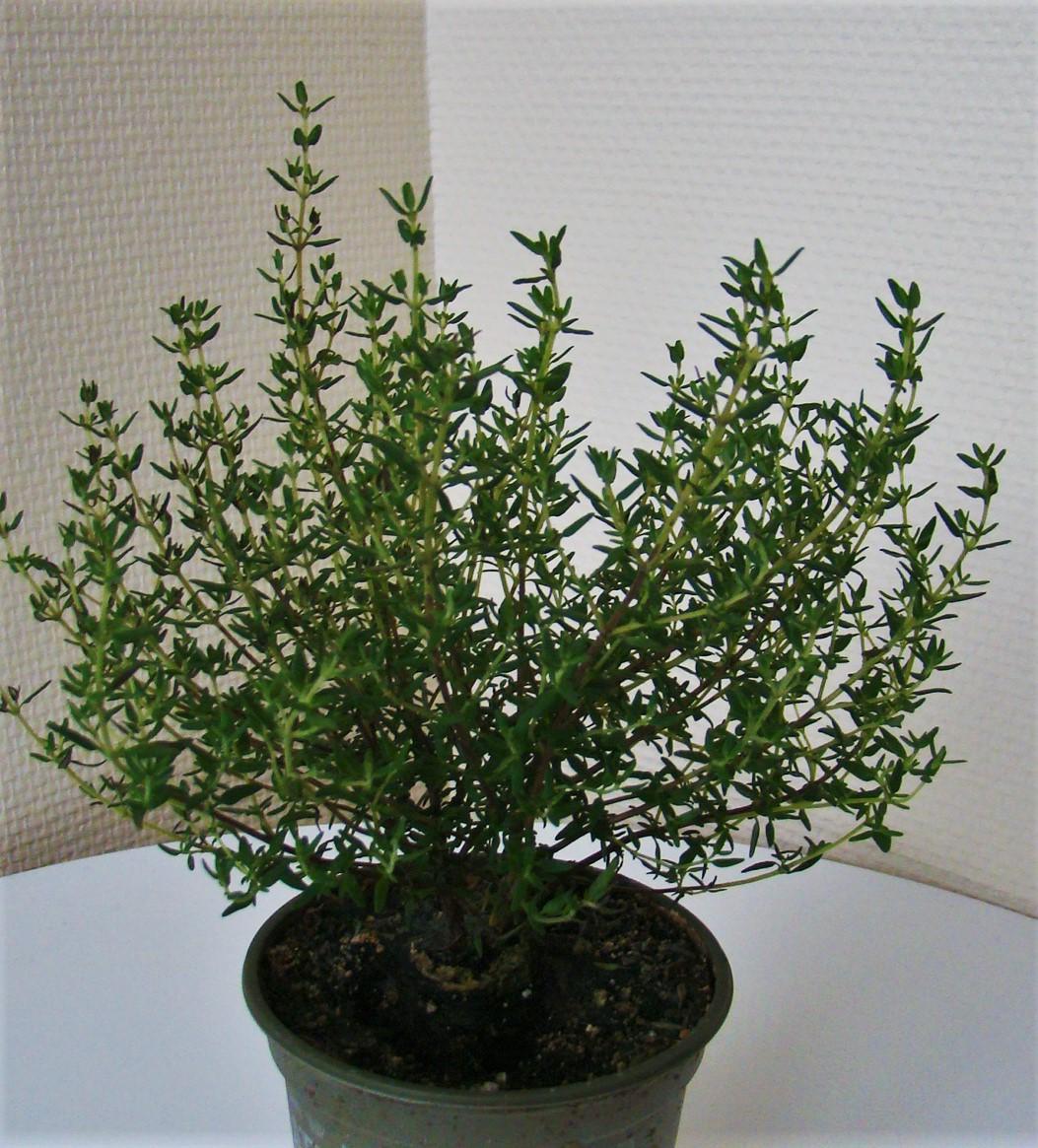 La ventana de javiruli arom ticas 5 tomillo thymus for Plantas aromaticas de interior