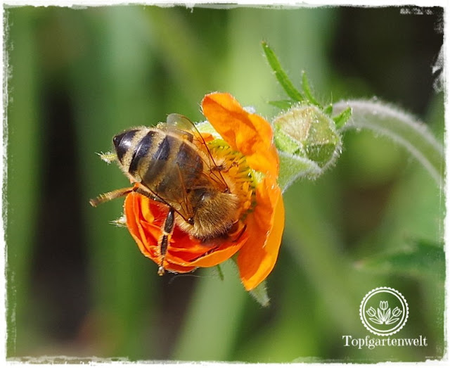 Gartenblog Topfgartenwelt Buchtipp Makrofotografie - die große Fotoschule: Makroobjektiv und Nahlinse - Biene auf Nelkenwurz