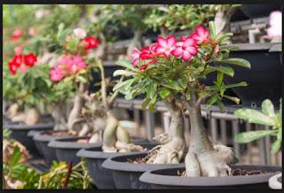 Teknik Budidaya Tanaman Hias Bunga Mawar, Bonsai, Kamboja, dan Anggrek