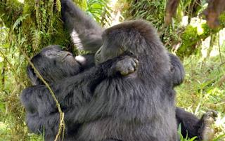 gorilla lesbian sex