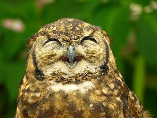 Funny joke laughing owl
