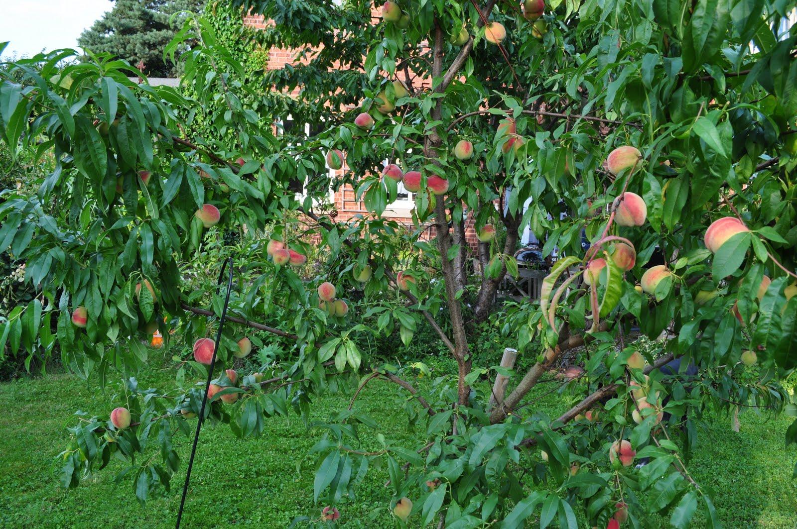 Von rosen und dornen unser pfirsichbaum - Pfirsichbaum im garten ...
