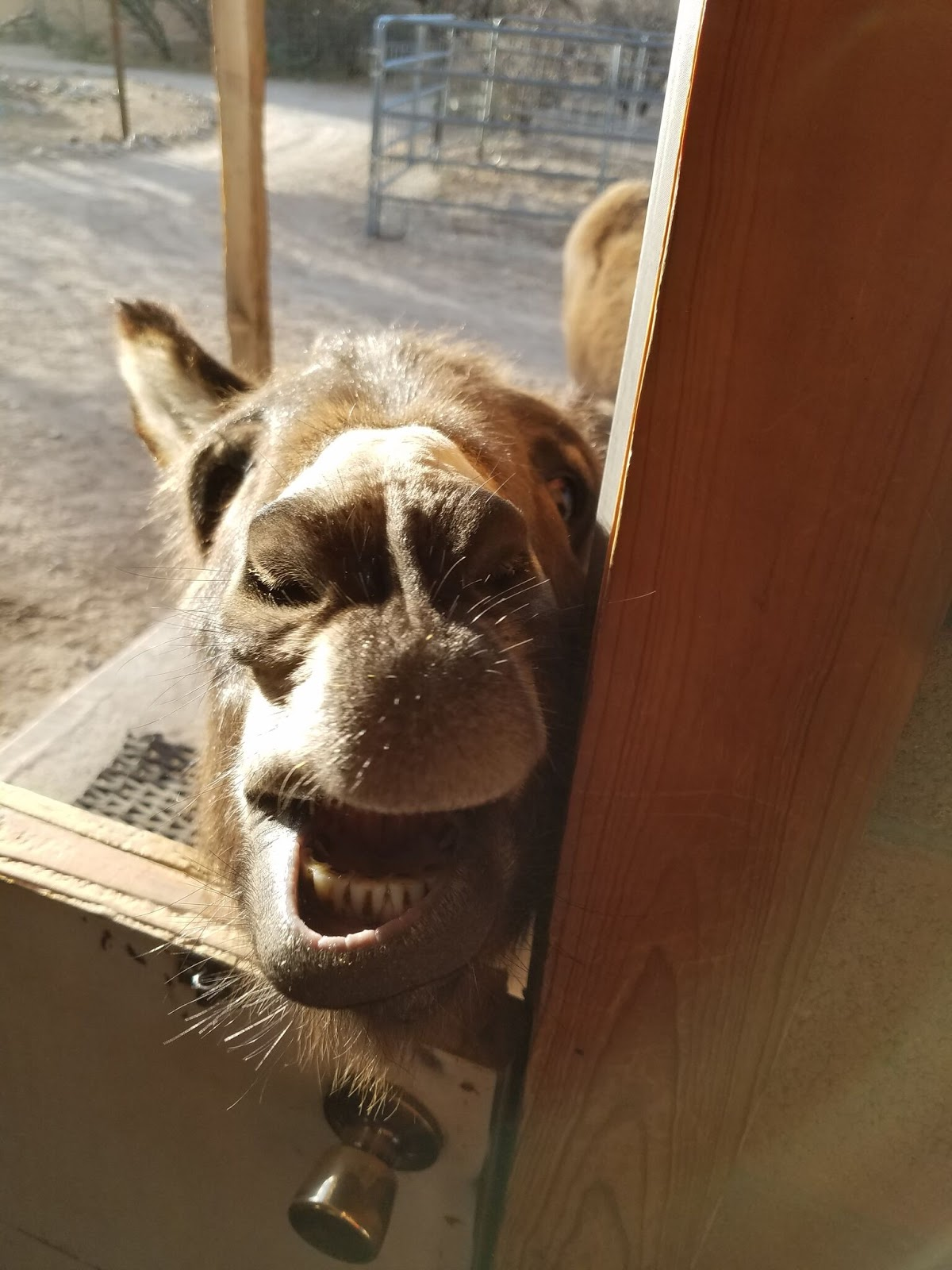 Forever Home Donkey Rescue: JUSTIN DOING HIS BEST TO GET COOKIES