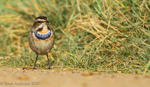 More of the stunning Bluethroat
