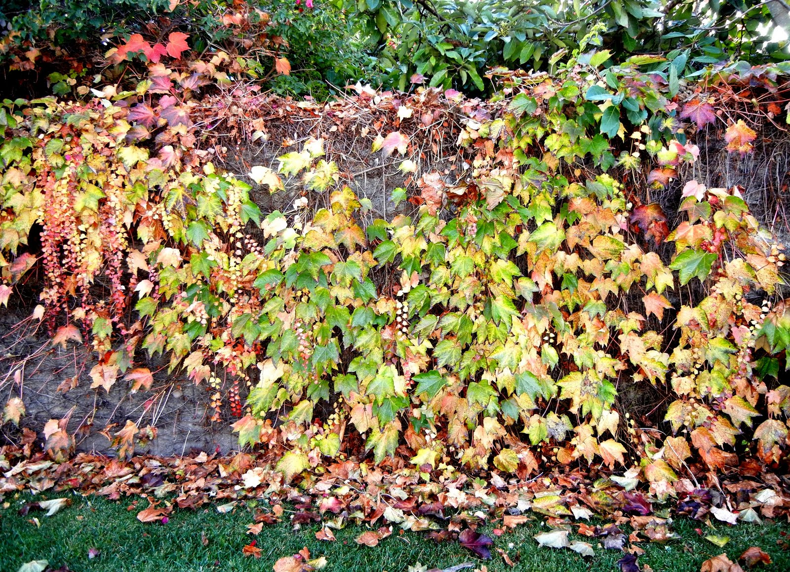 A Photo, A Thought............: Plant: Boston Ivy Through
